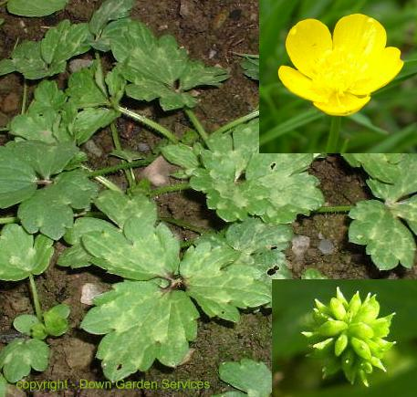 picture of CREEPING BUTTERCUP