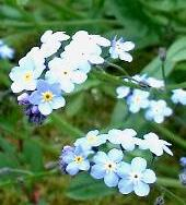 Myosotis Arvensis Link To A Monograph On True Forget Me Not