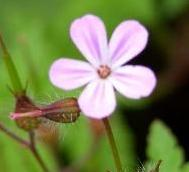 Pictures of red to pink weed flowers fumaria officinalis link to a monograph on herb robert mightylinksfo