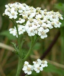 Pictures of common weed flowers yarrow mightylinksfo