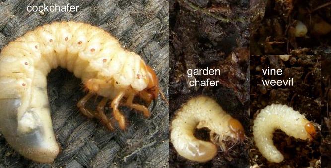 garden chafer grub