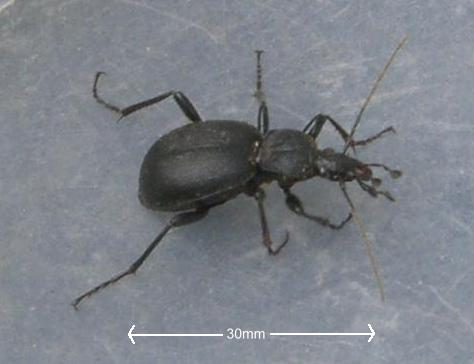 Ground Beetle - a garden friend