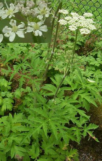 Common Hogweed Recognition And Eradication