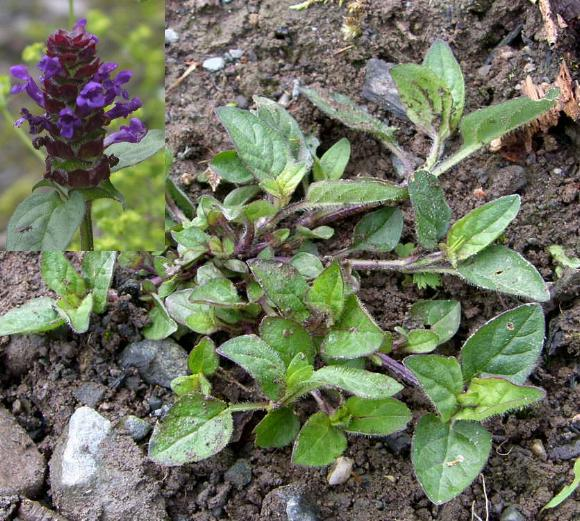 picture of SELFHEAL