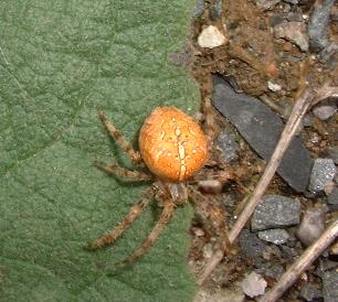 female garden spider